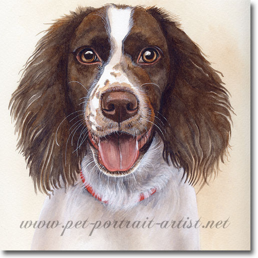 Springer Spaniel Pet Portrait by Joanna Culley