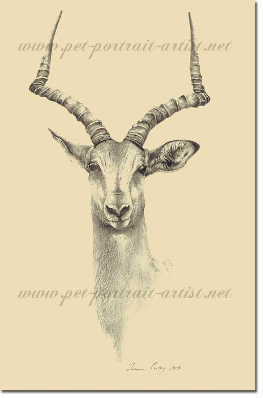 Pencil Drawing of an Impala, by Joanna Culley