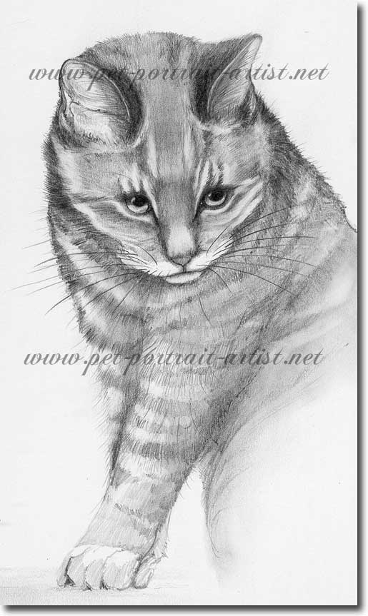 Pencil Portrait of a Cat, Tabitha, by Joanna Culley